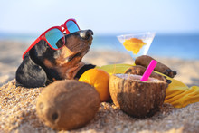 Cute Dog Of Dachshund, Black And Tan, Buried In The Sand At The Beach Sea On Summer Vacation Holidays, Wearing Red Sunglasses With Coconut Cocktail
