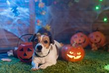 Happy Halloween. Dog Pet Jack Russell Terrier In Costume