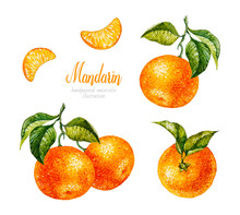 Watercolor Mandarin. Watercolor Botanical Illustration. Citrus Fruit. Mandarin Set. Slices Of Tangerine