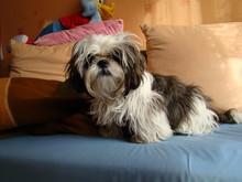 The Shih-tzu Dog In Bed