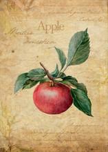 Apple Vintage Botanical Illustration