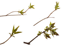 Branch Of Lilac Bush With Young Green Leaves. Isolated On White