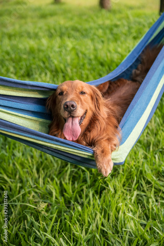Fototapeta Golden Retriever resting in a hammock obraz