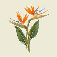 Watercolor Strelitzia Flowers ...