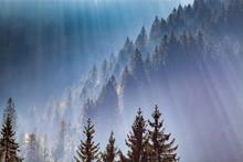 Sun-rays Through Misty Pine Fo...