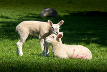 Two Cute Lambs In Spring. One Laid Down And One Stood Resting Its Chin On The Other