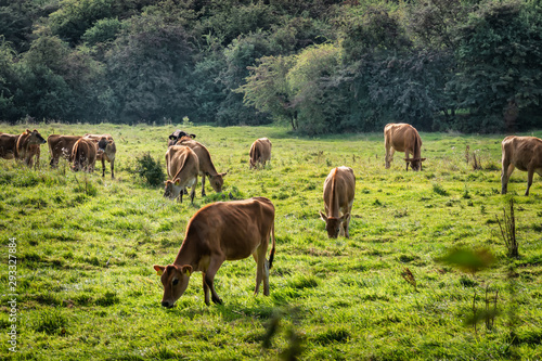 Photo Young cattle eating grass on a field in Denmark