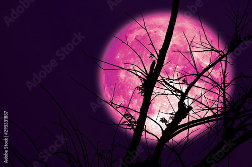 super dark harvest pink moon on night sky back dry branch tree Canvas Print