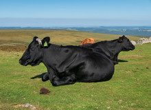 Pair Of Black Cows Lying Down ...