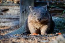 Close Up Of An Australian Wombat