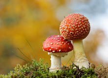 Two Spotted Red Agaric Mushroo...