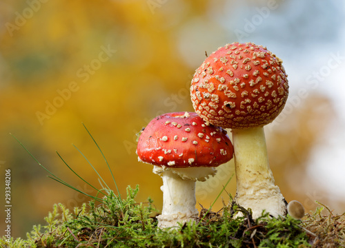 Photo Two spotted red agaric mushrooms in deep forest