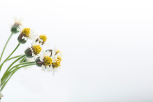 Tridax Procumbens Flower Isolated On White