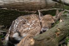 Newborn Fallow Deer Fawn Hidde...
