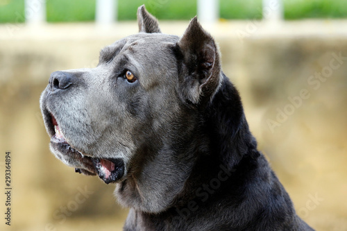 Dog Cane Corso adult Canvas Print
