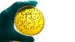 Leinwanddruck Bild - Gloved hand holding a Petri dish Bacteria culture