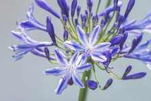 Close Up Of An Agapanthus Flower