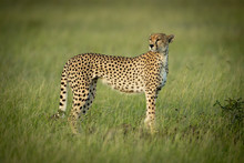 Cheetah Stands Looking Round I...