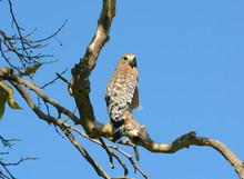 A Coopers Hawk (Accipiter Coop...