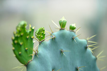 New Green Buds Of Cactaceae Ba...