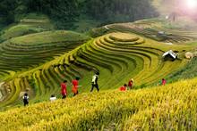 Rice Fields On Terraced Of Mu ...
