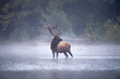Bull Elk in stream.