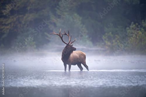 Bull Elk in stream. Fototapete