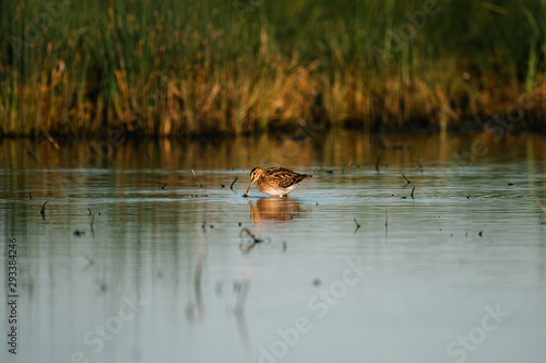 Photo Eurasian woodcock on lake