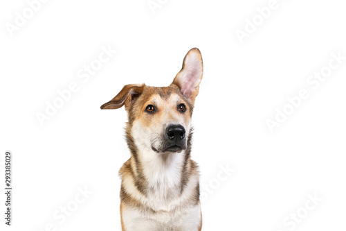 Foto Studio shot pf a happy adult large mixed breed golden color dog sitting with a s