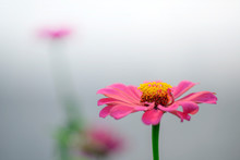 Close Up Of  Zinnia Flower (Zinnia Violacea )