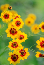 Beautiful Coreopsis Tinctoria Flower Blooming In The Summer. Close Up
