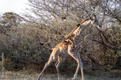 young giraffe with birds on the neck in the middle of the African bush at sunset Wallpaper Mural