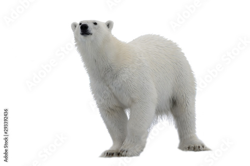Foto op Plexiglas Ijsbeer Polar bear (Ursus maritimus) isolated on white background