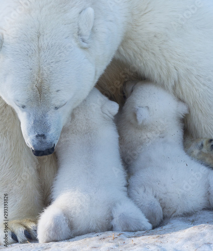 Poster Individuel Polar bear mom feeding newborn cubs.