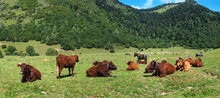 Herd Cows In The Mountain Mead...