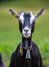 Goat Face Goats Dairy Farm Ani...