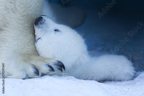 Foto op Plexiglas Ijsbeer A funny white polar bear lies on a huge paw with his mom 's claws.