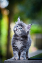 Close-up An Adorable Blue Tabby Small Kitten Looking Up In Garden With Soft Light Background. Gray Maincoon Cat In Forest Daytime Lighting