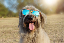 Funny Dog Summer Wearing Colorful Sunglasses And Sticking Out Tongue At The Park.