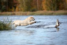 Golden Retriever Dog Jumping Into Water Hunting Ducks