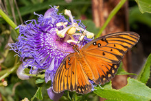 Dorsal View Of A Gulf Fritilla...