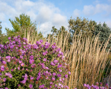 Purple New England Asters With Feather Reed Grass, Trees, And A Blue Sky With White Clouds In The Background.