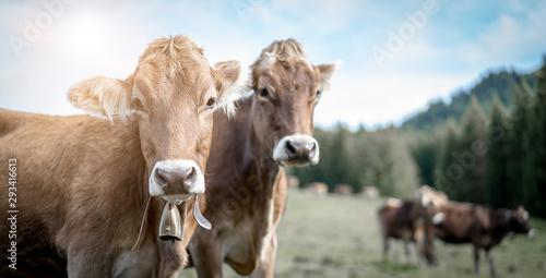 Montage in der Fensternische Kuh eine Herde Kühe grasen auf einer saftigen Weide in den Alpen