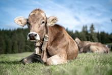 Eine Herde Kühe Grasen Auf Ei...