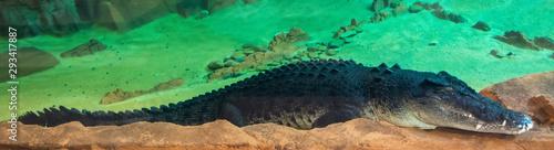 Poster Krokodil Australian saltwater crocodile (Crocodylus porosus)