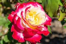 Double Delight Rose Flower In ...