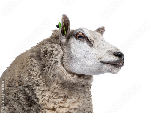 Papiers peints Sheep Head shot of common white sheep in full wool, standing side ways. Looking straight ahead. Isolated on white background.