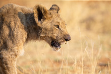 Close-up Of A Lion Cub Walking...