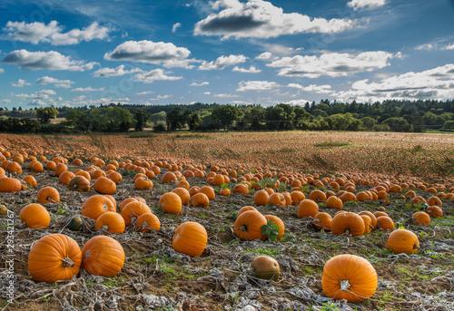 Slika na platnu Pumpkin crop