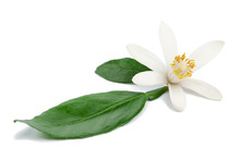 Citrus Flower Ingredient